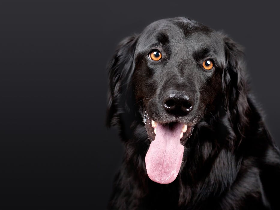 This image has an empty alt attribute; its file name is dog-hovawart-black-pet-89775.jpeg