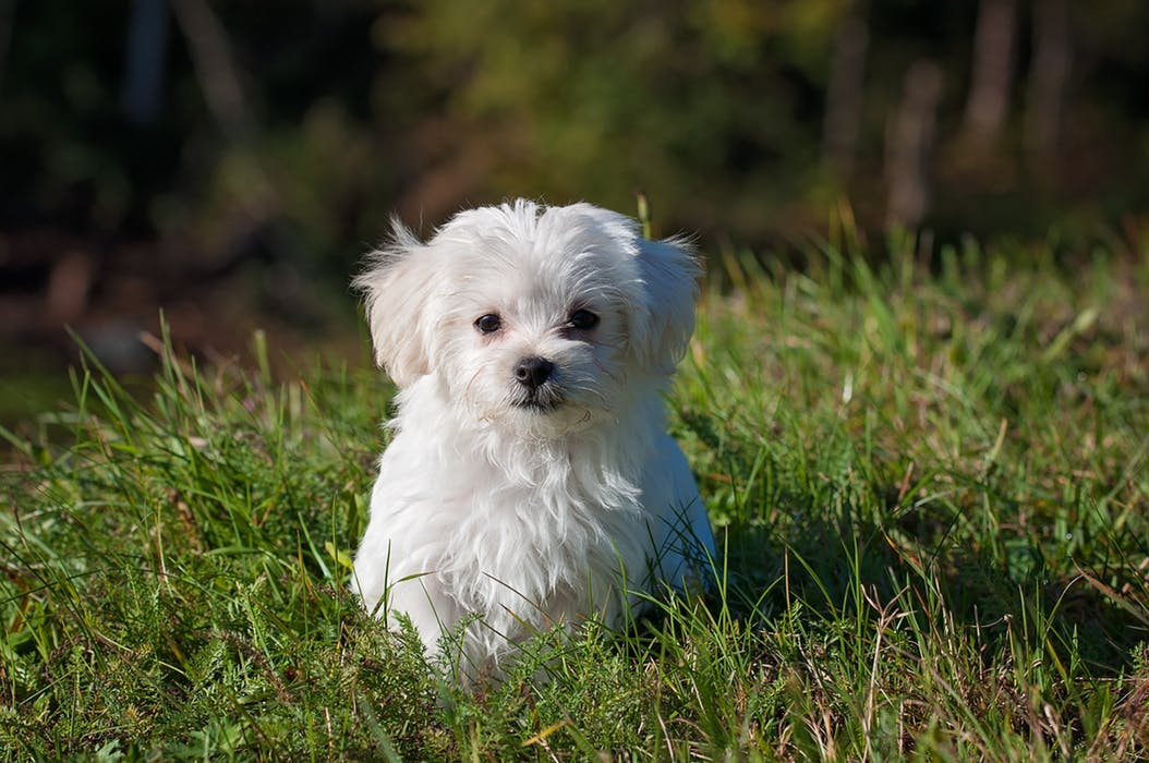 This image has an empty alt attribute; its file name is dog-young-dog-small-dog-maltese.jpg