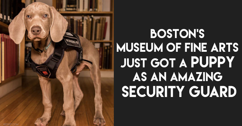Riley The Weimaraner Just Became The First Ever Museum Security Dog, And It's Pretty Adorable